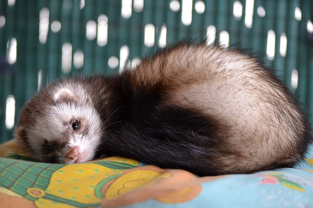 Ferret Care Services