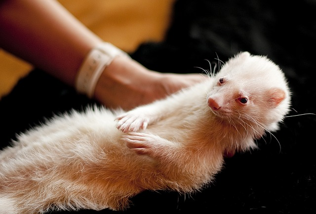 Ferret Microchipping
