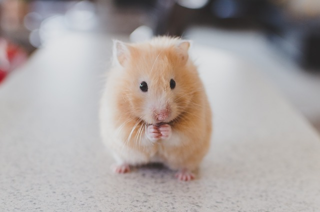 hamster blood work