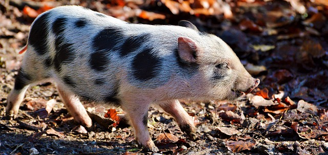 Pot-bellied Pig Care