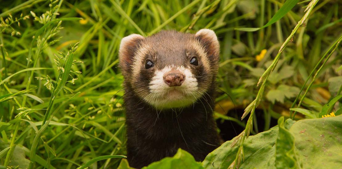 How to Take Care of Your Ferret? - Exotic Animal Hospital